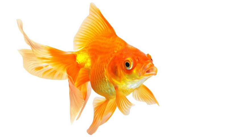 Goldfish final